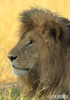 """500px / Photo """"KING OF THE MARA"""" by Lee Fisher"""