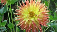 Universul florilor - Dalia