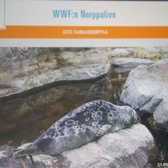 LUONTO. ELÄIMET. SUOMI Saimaannorppa, LIVE WWF...Tutustuin, Katsoin, Bongasin NORPAN. Luonnossa En ole vielä nähnyt, Sinä? ARVOSTAN, Suojelen, SUOSITTELEN. HYMY @wwfsuomi #suomi #suojelu #wwf #eläimet #norppa #saimaannorppa #luonto #elämäntapa #blogi #suositrelen ❤☺