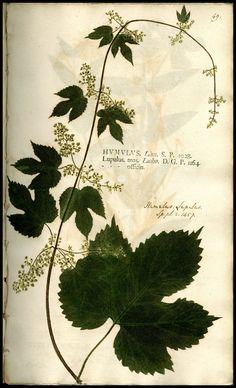 Humulus Lupulus, from Johann Hieronymus Kniphof , 1704-1763 Botanica Originali.