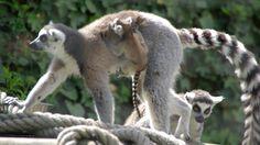 Les Maki catta et leur bébé au Parc Zoo du Reynou