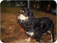 Tacoma, WA - Cocker Spaniel. Meet KADIE a Dog for Adoption w/ American Cocker Spaniel Rescue americancockerspanielrescue@yahoo.com
