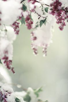 Lilacs Blossoms in the Snow by lucysnowephotography on Etsy, $20.00