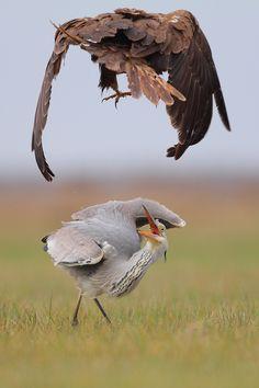 Heron and Busard  |  © Nathan Livartowski