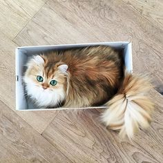 """Meet 'Smoothie', the Most Photogenic (Female) Cat in the World"" - a British Longhair w/ 854,000 followers on Instagram!! You can find her as ""smoothiethecat"" (👑 Smoothie, Queen of Fluff) ❤️☺️❤️"