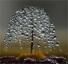 arbre de rosée Crédit : John Raddolf