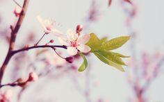 Peach Flowers HD Wallpapers