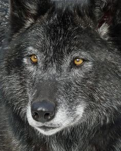 Nancy Chow photography     |   The Eyes, 2009    |   Black Wolf  -  Calgary Zoo