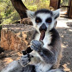Lemur in Jerusalem zoo(king Julien) - We love the lemurs here - no fences. Lemurs, Jerusalem, Fences, Madagascar, Creatures, King, Bear, Children, Picket Fences