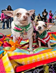 "Great Texans Vacation Beach town.  These Chihuahuas say ""I am on Galveston Island - and loving it"","