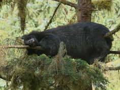 Black Bear snoozing in a Sitka Spruce tree by Charlie Summers