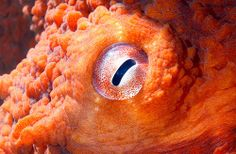 Gaww the eye..the EYE.   .....................................  Giant Pacific Octopus.