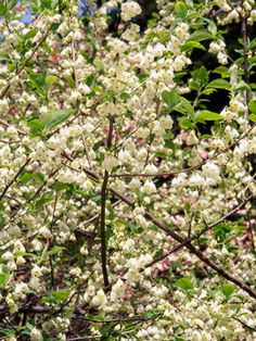 Beautybush kolkwitzia amabilis fast growing shrub late spring our favorite small trees mightylinksfo