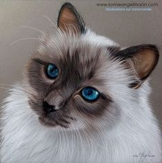 Siamese Cat. Cool Realistic Animal Drawings. By Lorine Angelmann.
