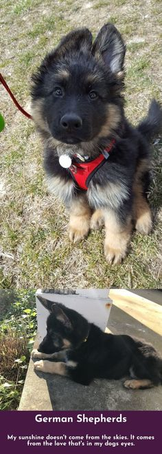 Just click the link to learn more German Shepherds Check the webpage to get more information.