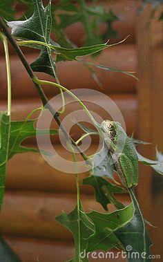 A green tree frog hangs on to an oak leaf in the sun.
