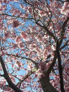Japanese cherry tree | Prunus sargentii