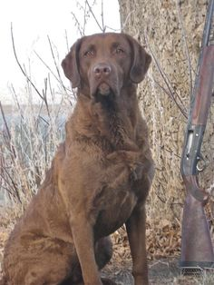 Chessie on the lookout. ☀Chesapeake Bay Retriever