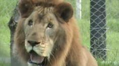 Video: Geredde leeuw voelt voor 't eerst gras