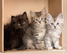 Onyx, Opal, Pearl (Ragdoll x Tiffany) - Little kittens best in threes, if you please
