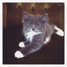 Our lovely Ragdoll x Blue Russian kitten ❤️