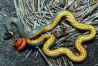 Regal Ring-necked Snake