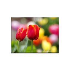 Blumenbild auf Leinwand, als Kunstdruck oder Fototapete  Im Tulpenrausch