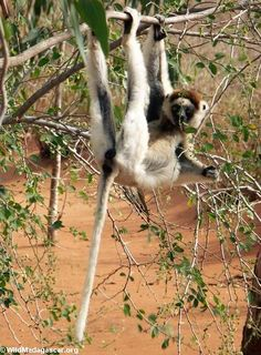 Sifaka just hanging out