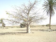 Baobab Boavista (Capo Verde) 02/2007