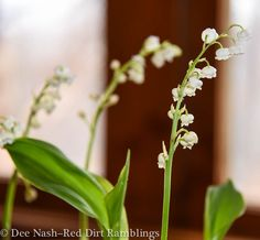 lily of the valley in greenhouse - Google otsing