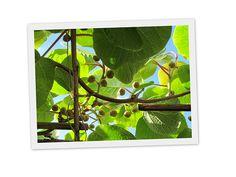 kiwiplant