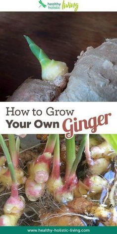 One of the best superfood hacks you'll ever learn is how to grow ginger (and an endless supply of it). Now you can get all the health benefits of ginger, all year long. #indoorgardening