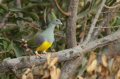 Bruce's Green Pigeon - 148763377.WxBXIg2u.jpg (800×533)