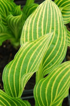 Klehm's Song Sparrow Farm and Nursery--Hosta--'Mito-no-hana' - Too pricey for me, but what a lovely hosta
