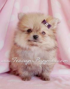 precious pomeranian puppy... look at that FACE!   #pomeranians #teacups #puppies