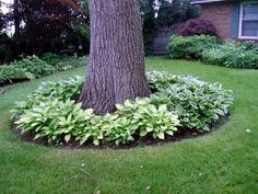 Hostas around tree.