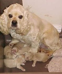 cocker spaniel and her pups