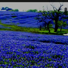 Bluebonnets near Ennis, Texas!!  Beautiful!!