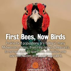 In case you missed it: Prairie bird populations are falling in many Midwestern states, from ring-necked pheasants to horned larks to sparrows. Scientists now say insecticides are a primary culprit. More here: http://www.cornucopia.org/2014/06/first-bees-now-birds #birds #savethebees #humanhealth #food The Cornucopia Institute