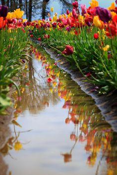 Woodburn Tulip Festival Landscape (taken by my amazing friend Charlotte)