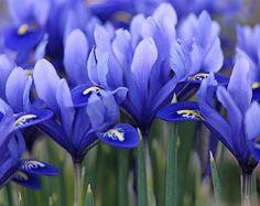 Blue Iris!