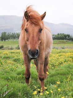 Icelandic horse, Iceland.