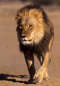 Desert King by Hendri Venter on 500px