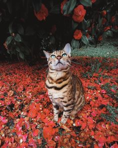 Bengal Cat Personality That You Must Understand As It Owner Animals And Pets, Funny Animals, Cute Animals, Nature Animals, Animals Images, Animal Pictures, Funny Cats, Funny Pictures, Beautiful Cats
