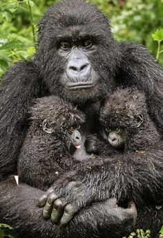 Endangered Species (by Diana Rebman). Only the fifth set of mountain gorilla twins ever to be reported in Rwanda's Volcanoes National Park. The mountain gorilla is officially listed as critically endangered. Primates, Mammals, Gorilla Gorilla, Silverback Gorilla, Animals And Pets, Baby Animals, Cute Animals, Wild Animals, Exotic Animals