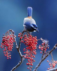 Warm-koud contrast door de koele kleur blauw en de warme kleur rood van de bessen. Kwantiteitcontrast, veel blauw tegenover weinig rood in de bessen.