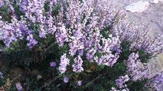 Variety of Seeds&Bulbs. Purple Pink Color, Sandy Soil, Evergreen, Shrubs, Seeds, Bloom, Leaves, Canning, Flowers