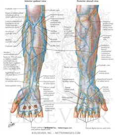 arm veins for venipuncture |  veins dorsal aspect of the hand b, Cephalic Vein