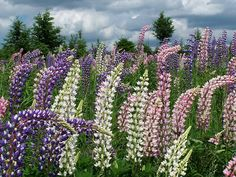 Lupins for Sati Kobashi (by Jean-Paul Boudreau Photographie)