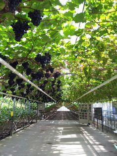 Westland druif - Gape greenhouse